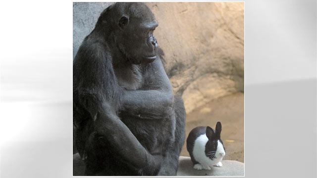 Unlikely Animal Pair: Aging Gorilla, Bunny Are New Pals