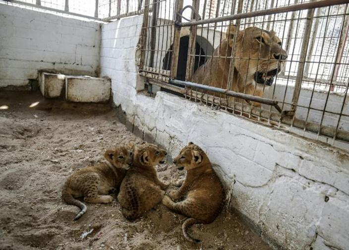 The zoo's manager says the lions were brought through tunnels from Egypt (AFP Photo/SAID KHATIB)