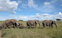 <p>When we were on safari in Central Serengeti with the Four Seasons, this herd of elephants passed right in front of our truck. It was unbelievably breathtaking.</p>