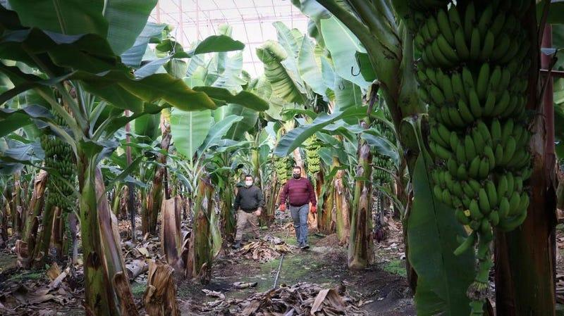 Workers collect bananas in a greenhouse