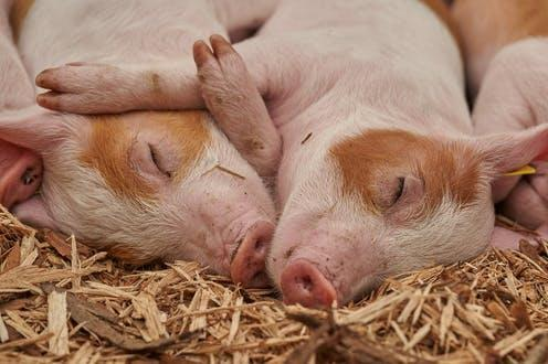 """<span class=""""caption"""">UK pig farms have some of the highest welfare standards in the world.</span> <span class=""""attribution""""><a class=""""link rapid-noclick-resp"""" href=""""https://pixabay.com/photos/piglet-sleep-pig-farm-relaxed-3386356/"""" rel=""""nofollow noopener"""" target=""""_blank"""" data-ylk=""""slk:RoyBuri/Pixabay"""">RoyBuri/Pixabay</a></span>"""