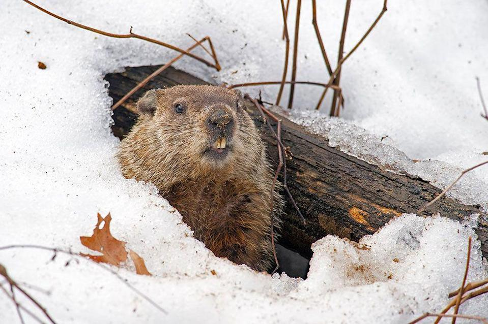 """<p>Animals <a href=""""https://www.accuweather.com/en/weather-news/groundhog-days-history-how-punxsutawney-phil-became-an-international-weather-predicting-celebrity/70004010"""" rel=""""nofollow noopener"""" target=""""_blank"""" data-ylk=""""slk:predicting the weather"""" class=""""link rapid-noclick-resp"""">predicting the weather</a> was adapted from German culture when settlers arrived in the U.S. and chose Pennsylvania as their home. The old Candlemas Day tradition in Germany involved members of the clergy distributing blessed candles which were used to determine how long the winter weather would last. Animals were also observed to see how long their hibernation periods lasted. Germans closely tracked badgers and found groundhogs to be the next best thing. </p>"""