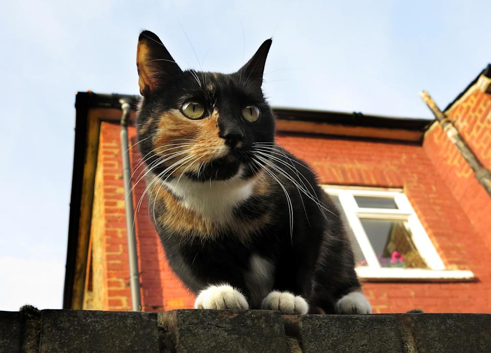 A cat sits on a wall in London, Thursday, Feb. 28, 2013. The London zoo is taking stock of an animal you don't often find behind bars, launching what it says is the first interactive map of the British capital's domestic cats. The zoo said that its interface would allow Londoners to upload scientific survey-style photos, descriptions, and locations of their cats _ creating a capital-wide census of the city's felines. The map may not ultimately have much in the way of scientific value, but it could prove popular among Britain's cat owners. (AP Photo/Kirsty Wigglesworth)
