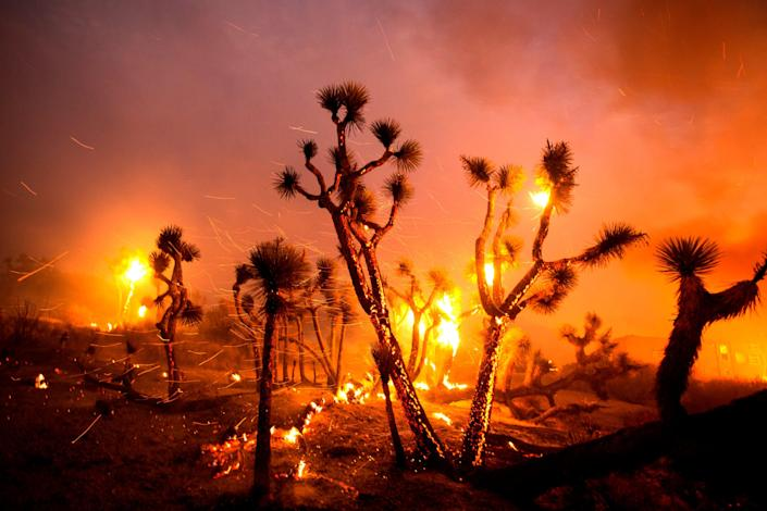 The wind whips embers from the Joshua trees burned by the Bobcat Fire in Juniper Hills, Calif., on Friday.