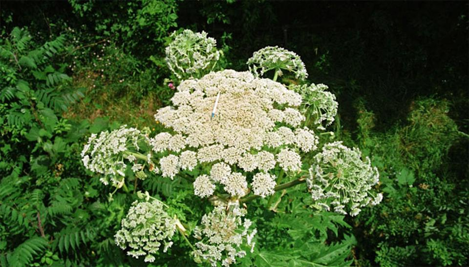 Giant hogweed <span>is a tall biennial or perennial herb with leaves that initially form a rosette of small white flowers</span>. Source: Department of Environment and Energy