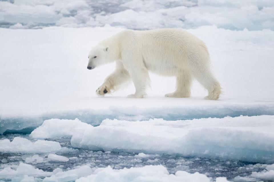 "<a href=""https://bestlifeonline.com/facts-about-polar-bears/?utm_source=yahoo-news&utm_medium=feed&utm_campaign=yahoo-feed"" rel=""nofollow noopener"" target=""_blank"" data-ylk=""slk:Polar bears"" class=""link rapid-noclick-resp"">Polar bears</a> can run at <a href=""https://www.whalefacts.org/polar-bear-facts/"" rel=""nofollow noopener"" target=""_blank"" data-ylk=""slk:25 mph"" class=""link rapid-noclick-resp"">25 mph</a>. By comparison, the fastest NFL player these days, <a href=""https://brownswire.usatoday.com/2019/09/29/nick-chubb-blazed-the-fastest-speed-of-any-nfl-player-on-a-td-this-season/"" rel=""nofollow noopener"" target=""_blank"" data-ylk=""slk:Nick Chubb"" class=""link rapid-noclick-resp""><strong>Nick Chubb</strong></a>, can run just over 22 mph."