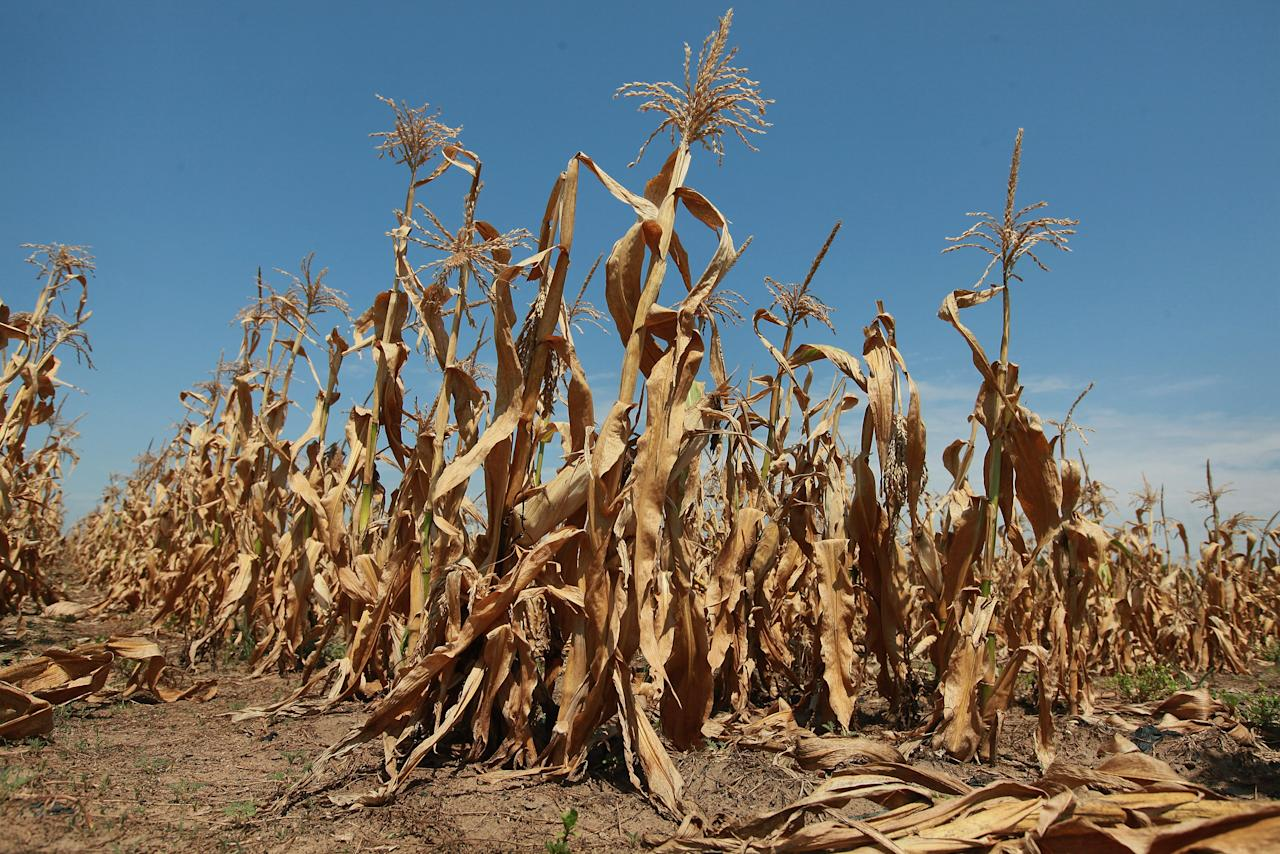 Corn plants struggle to survive in a drought-stricken farm field on July 19, 2012 near Oakton, Indiana. The corn and soybean belt in the middle of the nation is experiencing one of the worst droughts in more than five decades. Indiana was the nation's fourth largest corn producer in 2011. (Photo by Scott Olson/Getty Images)
