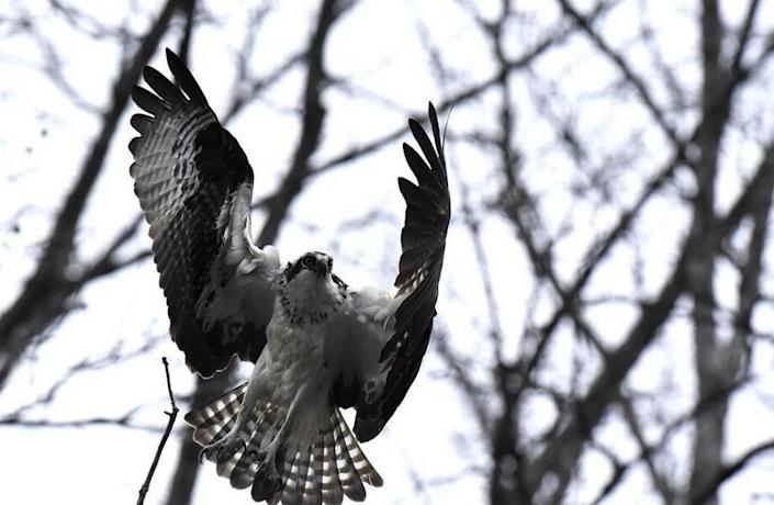 One of an osprey mating pair heads back to its nest on Lake Norman.