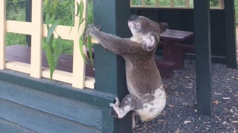 A dead koala, pictured above, has been found screwed to a pole at a park north of Brisbane, in an act that has left wildlife rescuers feeling sick to the stomach. Source: AAP
