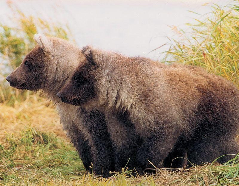 <p>Homer: Take a floatplane with Bald Mountain Air Service to see grizzlies in their natural habitat.</p>