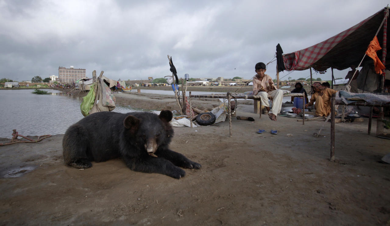 A pet bear sits among residents who escaped to higher ground from their flooded village in the Tando Allahyar district of Pakistan's Sindh province September 15, 2011. This year, floods have destroyed or damaged 1.2 million houses and flooded 4.5 million acres (1.8 million hectares) since late last month, officials and Western aid groups say. More than 300,000 people have been made homeless and over 200 have been reported killed. REUTERS/Akhtar Soomro    (PAKISTAN - Tags: DISASTER ENVIRONMENT SOCIETY ANIMALS)