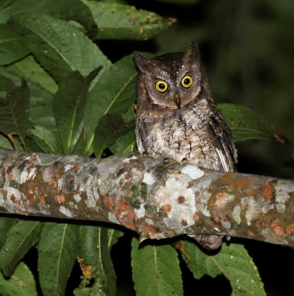 Unique Calls Reveal New Owl Species