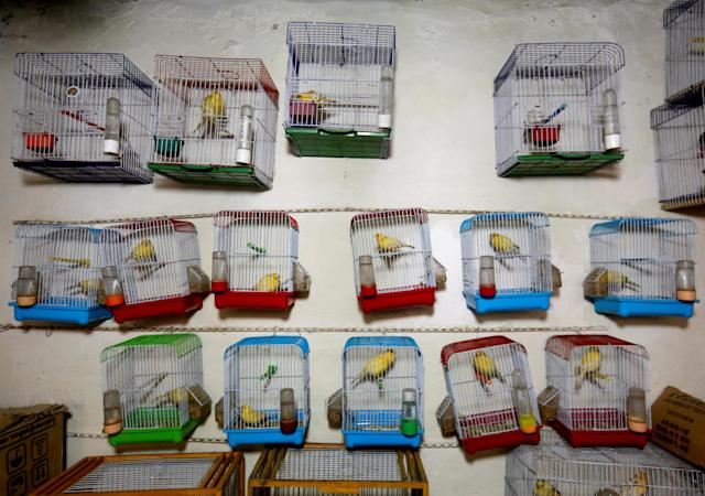 <p>Canary cages hang inside a shop, for sale, at Ka Faroshi bird market in Kabul, Afghanistan, Jan. 18, 2018. (Photo: Mohammad Ismail/Reuters) </p>
