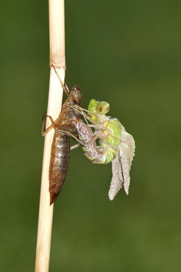 Incredible moment dragonfly emerges from nymph