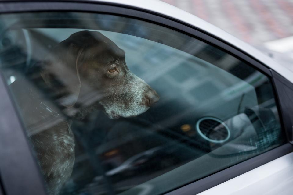Dog left alone in locked car. Abandoned animal in closed space. Danger of pet overheating or hypothermia. Owner's negligence and health threat.