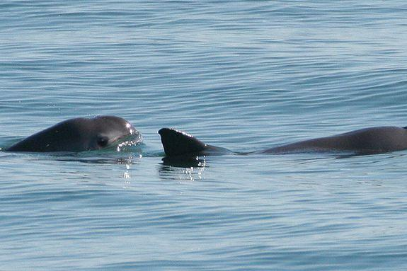 A pair of vaquita spotted in 2008.
