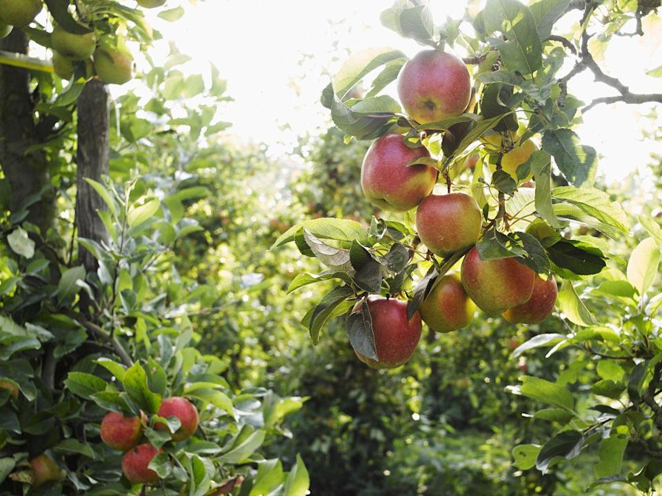 <p>One of the advantages of planting fruit trees in the fall is that the roots have time to settle in, leading to better fruiting in the late spring. While it is possible to grow apple trees from seeds, it can take up to 8 years from some varieties to start bearing fruit. Look for young Honeycrisp or Courtland trees at your local nursery as they tend to be quite hardy in the winter. </p>