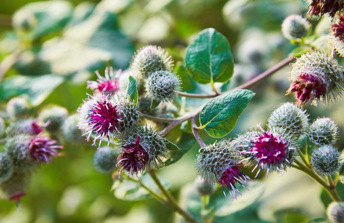 """<p>Bull thistle — sometimes called spear or common thistle — is native to Europe, western Asia and Africa. It is the national flower of Scotland, and is a top nectar producer for bees, hummingbirds and other pollinators. The root is most palatable when mixed with other vegetables. As a relative of the <a href=""""https://www.thedailymeal.com/best-recipes/artichoke?referrer=yahoo&category=beauty_food&include_utm=1&utm_medium=referral&utm_source=yahoo&utm_campaign=feed"""">artichoke</a>, the flower bud can also be consumed — just peel the outer layers to find the heart or cook it whole. The stem can be peeled and steamed, boiled or sauteed, but it's best early in the season before the flower is in full bloom. Be warned: The taste is pretty bland. Make sure you remove the thorns before you take a bite and regret it.</p>"""