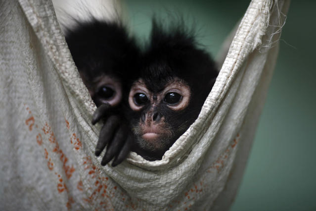<p>A couple of Spider Monkeys, that had been found on a bus inside a bag with three dead monkeys, rest in a hammock at the Federal Wildlife Conservation Center on the outskirts of Mexico City May 20, 2011. (Photo: Carlos Jasso/Reuters) </p>