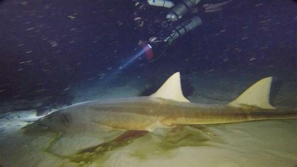 PHOTO: Divers found two deceased smalltooth sawfish, an endangered species, at the bottom of Amberjack Hole. (Mote Marine Laboratory via NOAA)