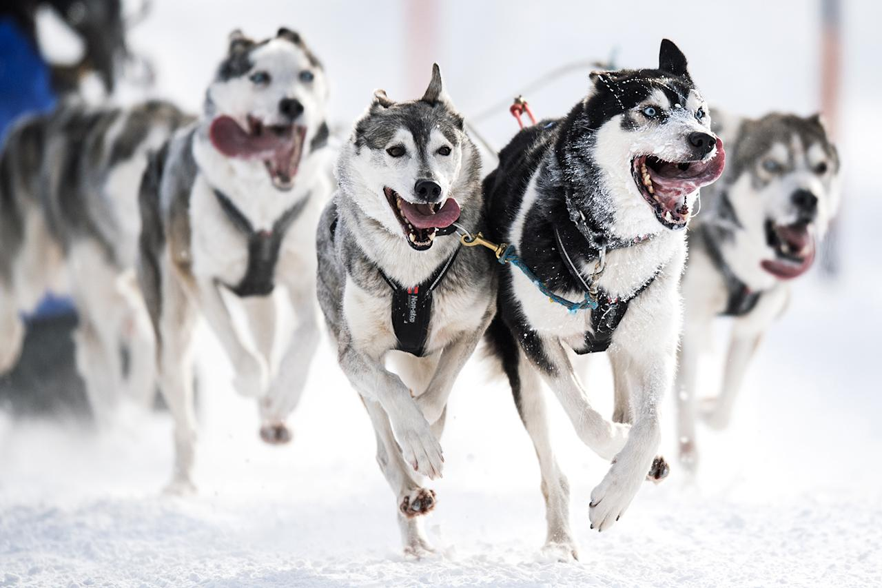 <p>Sled dogs pull their musher during an international dog sled race in Werfenweng, Austria, Jan. 7, 2017. Mushers from all over Europe compete with Siberian huskies, Alaskan Malamutes, Greenland dogs and Samoyeds in the snow-covered landscape of Werfenweng. (Photo: CHRISTIAN BRUNA/EPA) </p>