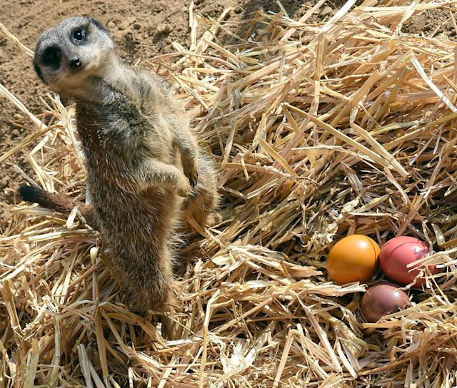 A meerkat guards colored Easter eggs at the zoo in Hannover, Germany, Thursday, April 3, 2014. The zoo keepers surprised the animals with an Easter egg hunt on the first day of the Lower-Saxon Easter school holidays. (AP Photo/dpa, Holger Hollemann)