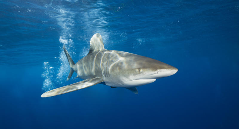 Oceanic Whitetip Shark in the waters of Polynesia
