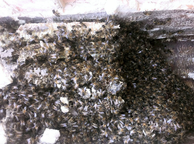 It is thought the thieves hoovered up the bees with a view to selling them on for thousands of pounds. (SWNS)