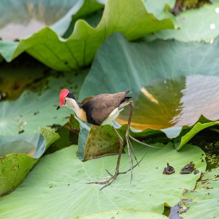 A jacana bird with oddly long toes that look like large spiders