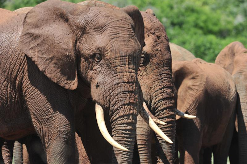 A 2011 count indicated that there were 12,000 elephants in Mozambique's Niassa National Reserve, making it one of Africa's most important populations
