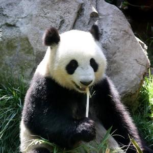 Panda eating a bamboo shoot