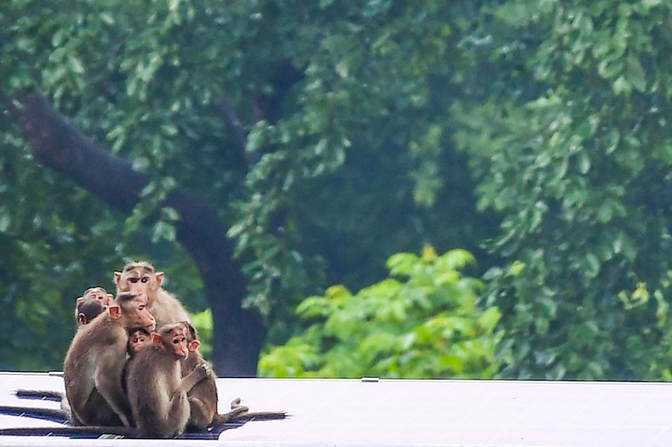 File image: A family of rhesus macaque huddles together during a rainfall in Mumbai on 21 June, 2021. China recently reported the first case of human death due to monkey virus that transmitted from monkeys to humans   (AFP via Getty Images)