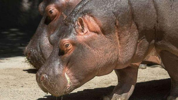 PHOTO: Hippos Mara and Rosie at the Los Angeles Zoo, Wednesday, Aug. 4, 2018. (lazoo/Instagram)