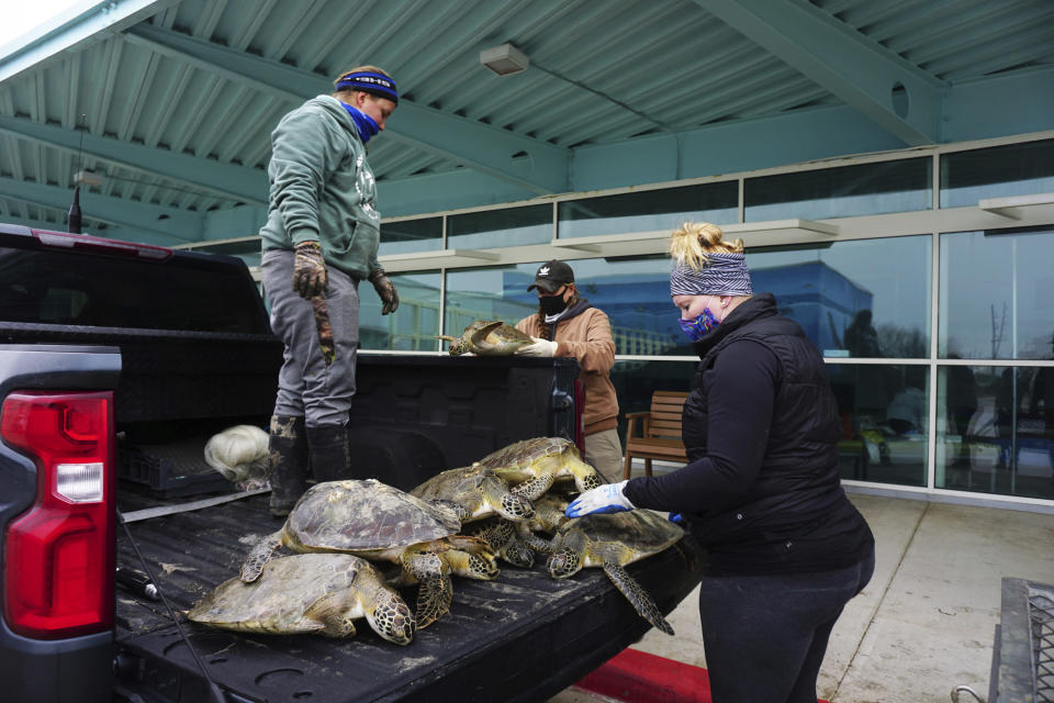 South Padre Island's Sea Turtle, Inc. employees and volunteers move rescued Atlantic green sea turtles and Kemp's ridley sea turtles out of the back of a pickup truck Tuesday, Feb. 16, 2021, after thousands suffer from cold stun due to several days of freezing temperatures in the waters off South Padre Island, Texas. (Miguel Roberts/The Brownsville Herald via AP)