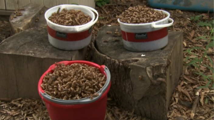 6-year-old Olivia began counting the cicadas in her backyard but quickly ran out of fingers — and buckets to collect their shells. / Credit: CBS News