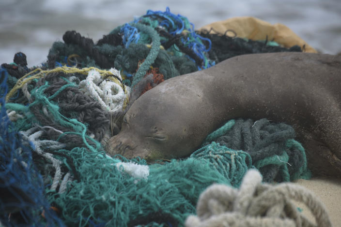 In this April 5, 2021 photo provided by Matthew Chauvin, a juvenile Hawaiian monk seal rests on top of a pile of ghost nets on the windward shores of Laysan Island in the Northwestern Hawaiian Islands. A crew has returned from the remote Northwestern Hawaiian Islands with a boatload of marine plastic and abandoned fishing nets that threaten to entangle endangered Hawaiian monk seals and other marine animals on the tiny, uninhabited beaches stretching for more than 1,300 miles north of Honolulu. (Matthew Chauvin, Papahānaumokuākea Marine Debris Project via AP — NOAA/NMFS Permit No. 22677)