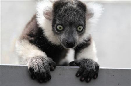 A black-and-white ruffed lemur (Varecia variegata) born in captivity a month ago is seen at the zoo in Cali
