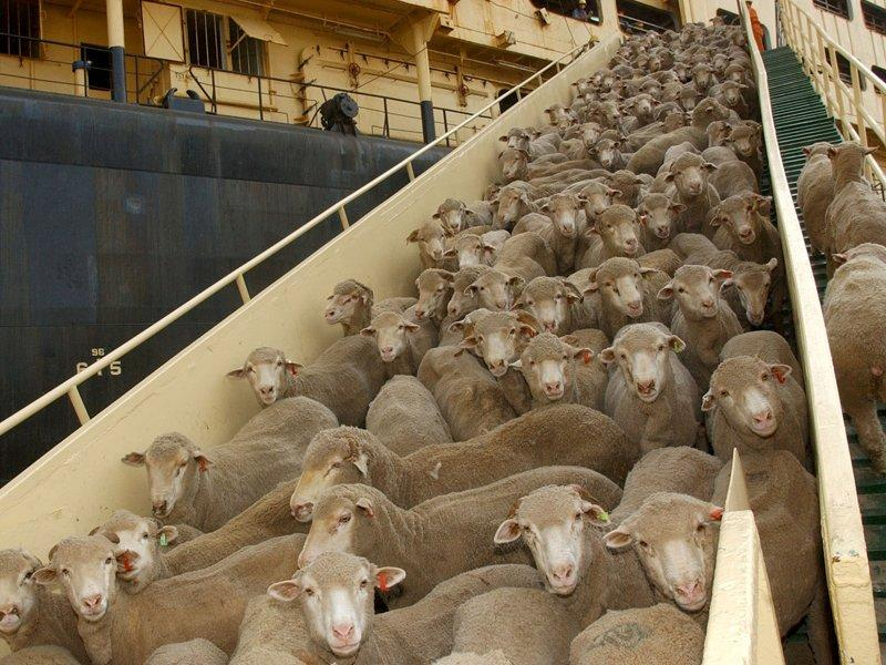 Live sheep exports to resume this week