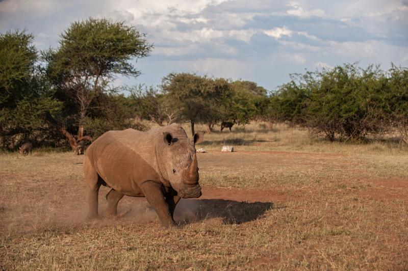 South Africa said that more rhinos were poached in the first four months of 2015 than in the same period last year as the scourge continues to hit record levels. (AFP Photo/Stefan Heunis)