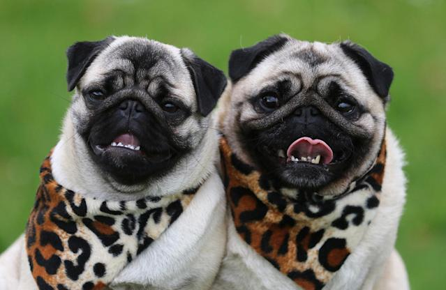 "<p>Two pugs pose during a photo call for the fair ""Dog & Cat"" in Dortmund, Germany, May 12, 2017. The fair with 170 exhibitors will take place in the Westfalenhalls from May 19th to the 21st of 2017. (Photo: Ina Fassbender/DPA via ZUMA Press) </p>"