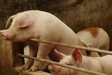 China to encourage restocking of pig herds: cabinet