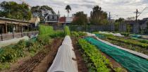 Crops grow on a market garden of Pocket City Farms in inner Sydney
