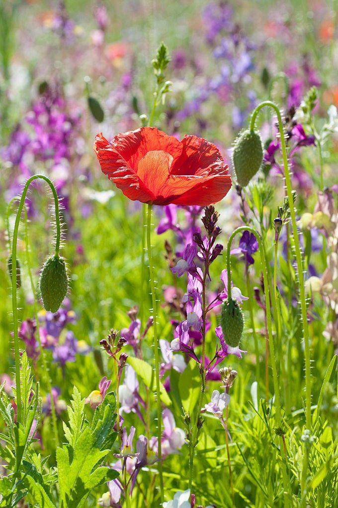 "<p>These papaver rhoeas, commonly referred to as corn, field or common poppies, are annual wildflowers that became a symbol of the <a href=""http://www.missouribotanicalgarden.org/PlantFinder/PlantFinderDetails.aspx?taxonid=284850&isprofile=0&cv=5"" rel=""nofollow noopener"" target=""_blank"" data-ylk=""slk:blood spilled"" class=""link rapid-noclick-resp"">blood spilled</a> in World War I. </p><p><strong>Bloom season</strong>: Spring and summer</p><p><a class=""link rapid-noclick-resp"" href=""https://www.amazon.com/Scuddles-Garden-Tools-Set-Gardening/dp/B07621FLPW/ref=sr_1_3_sspa?keywords=gardening+kit&qid=1584129763&sr=8-3-spons&psc=1&spLa=ZW5jcnlwdGVkUXVhbGlmaWVyPUEzRzFTWUVQSTFQTDFRJmVuY3J5cHRlZElkPUEwMDMzOTg2MkVDV0dSUUVSWVlOVyZlbmNyeXB0ZWRBZElkPUEwMTYyMTE3VVZYMUc5OVhJTDY1JndpZGdldE5hbWU9c3BfYXRmJmFjdGlvbj1jbGlja1JlZGlyZWN0JmRvTm90TG9nQ2xpY2s9dHJ1ZQ%3D%3D&tag=syn-yahoo-20&ascsubtag=%5Bartid%7C10063.g.35661704%5Bsrc%7Cyahoo-us"" rel=""nofollow noopener"" target=""_blank"" data-ylk=""slk:SHOP GARDENING KIT"">SHOP GARDENING KIT</a> </p>"