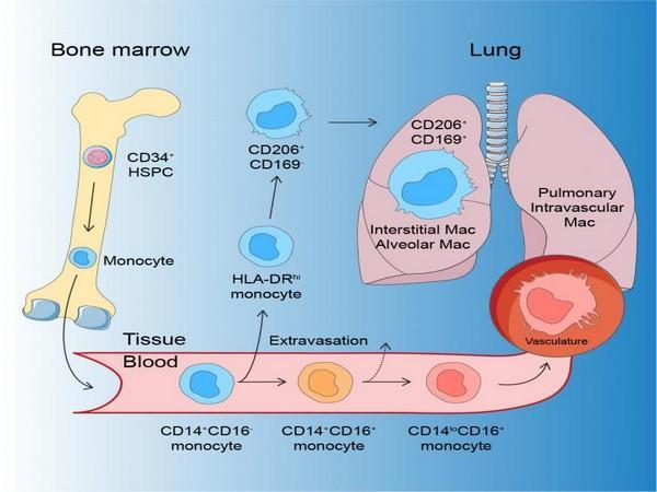 The development of human macrophages.