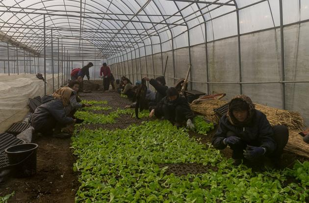 Women plant seedlings in a greenhouse at Ch'ongsan-ni Cooperative Farm. Since North Korea is a Communist, Socialist state, all food production is done by the state. These women are assigned to live and work on the farm.