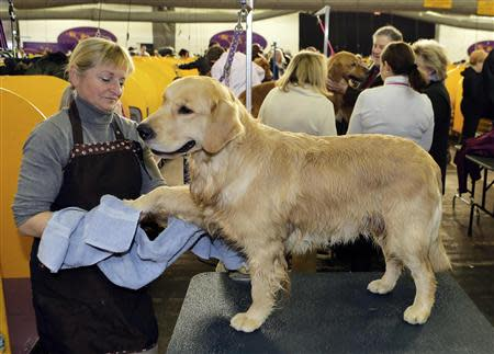 Nautilus, a Golden Retriever, gets dried after a bath by handler Diana Mason during the 138th Westminster Kennel Club Dog Show in New York, February 11, 2014. REUTERS/Ray Stubblebine