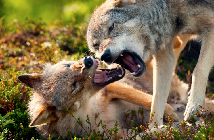 Growling wolves