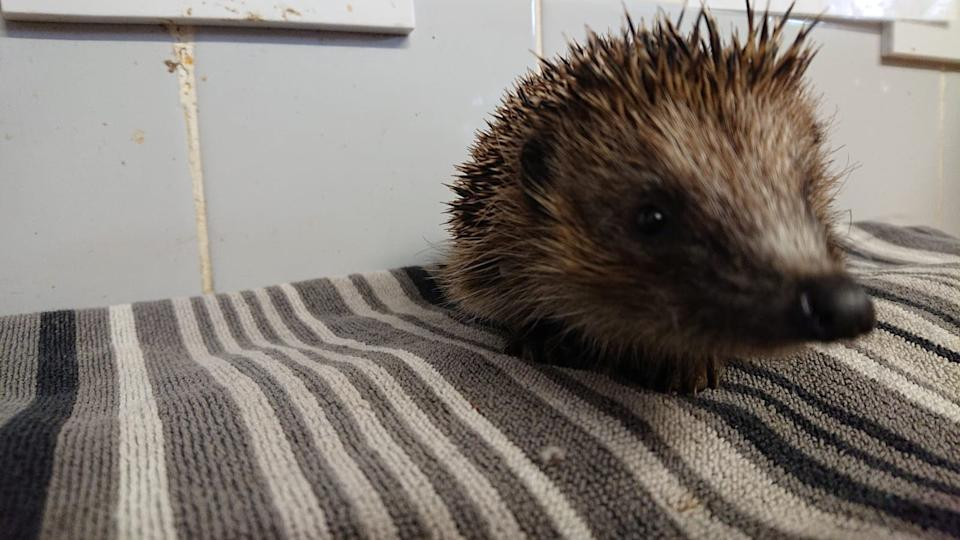 The hedgehog is recovering well after receiving treatment. (SWNS)