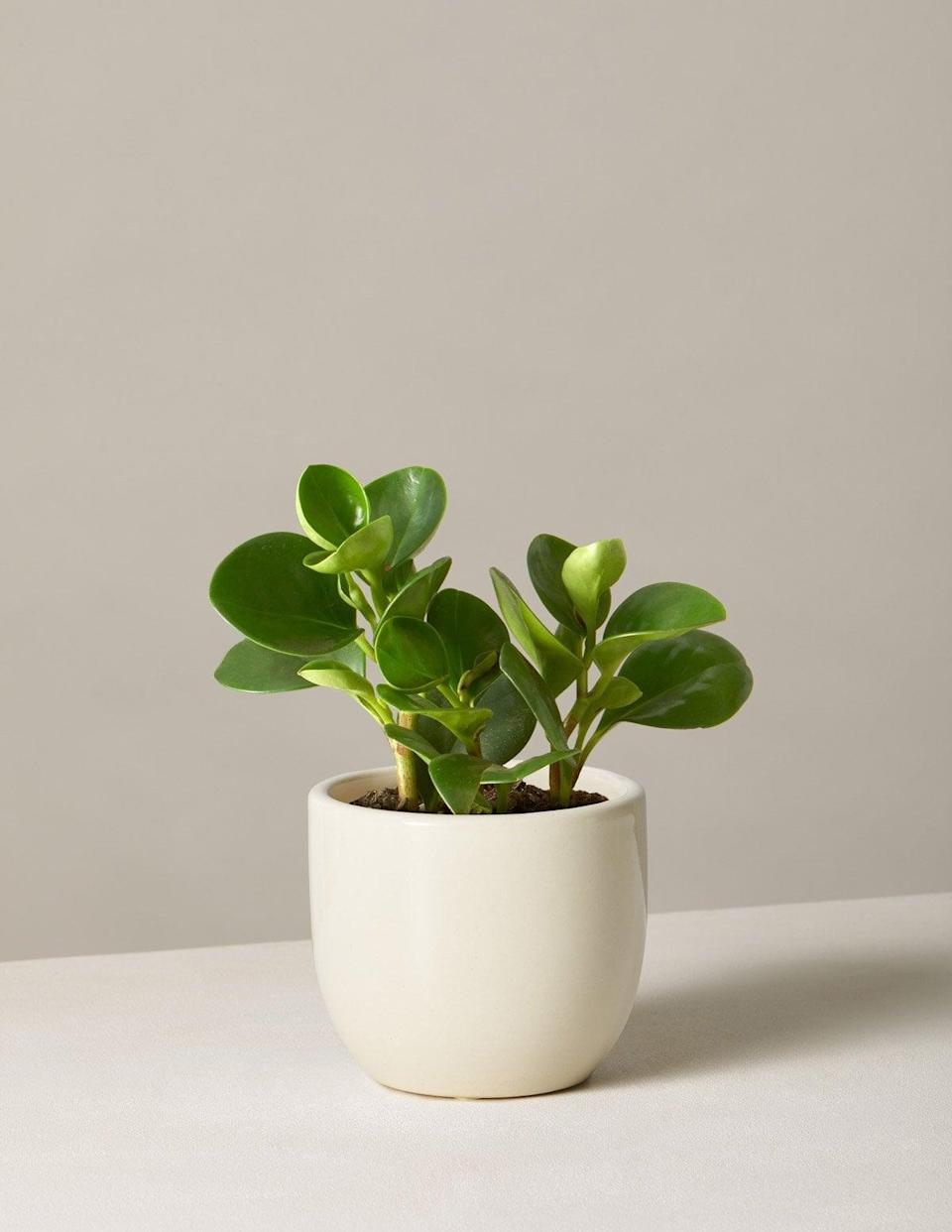 <p>The <span>Peperomia Obtusifolia</span> ($37) is a great choice if your bedroom doesn't receive a ton of light.</p>