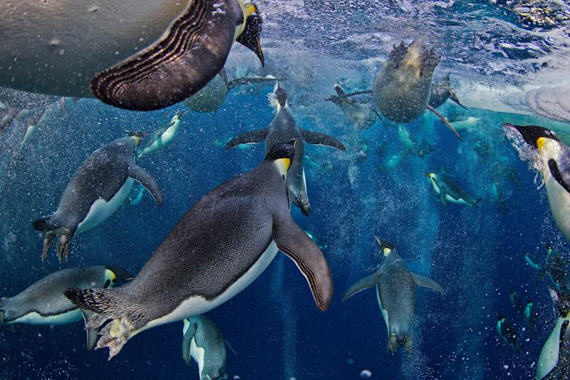 In this photo provided on Friday Feb. 15, 2013 by World Press Photo, the 1st prize Nature Stories by Paul Nicklen, Canada, for National Geographic magazine shows Emperor Penguins, even though they have evolved an incredibly advanced bubble physiology the greatest challenge they face is the loss of sea ice that supports their colonies and ecosystem. (AP Photo/Paul Nicklen, National Geographic magazine)